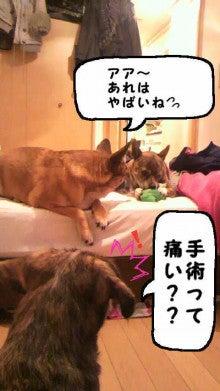 ミックス犬(柴犬×ボストンテリア) ミルモの日記-image0006.jpg