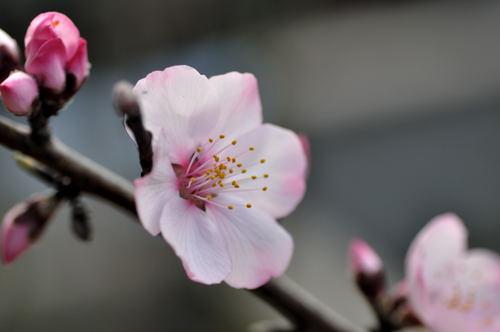 $志度・路・戻ろ-アーモンドの花