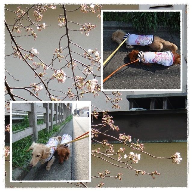旅犬Lani&Leaのほほん風船記-春散歩