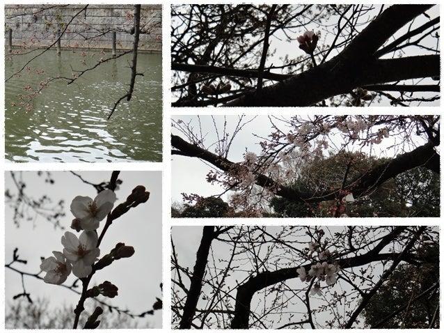 旅犬Lani&Leaのほほん風船記-今日の桜