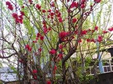 M.シュナ銀之介と小麦の隠し部屋-桃の木