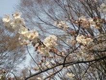 遥香の近況日記-sakura1