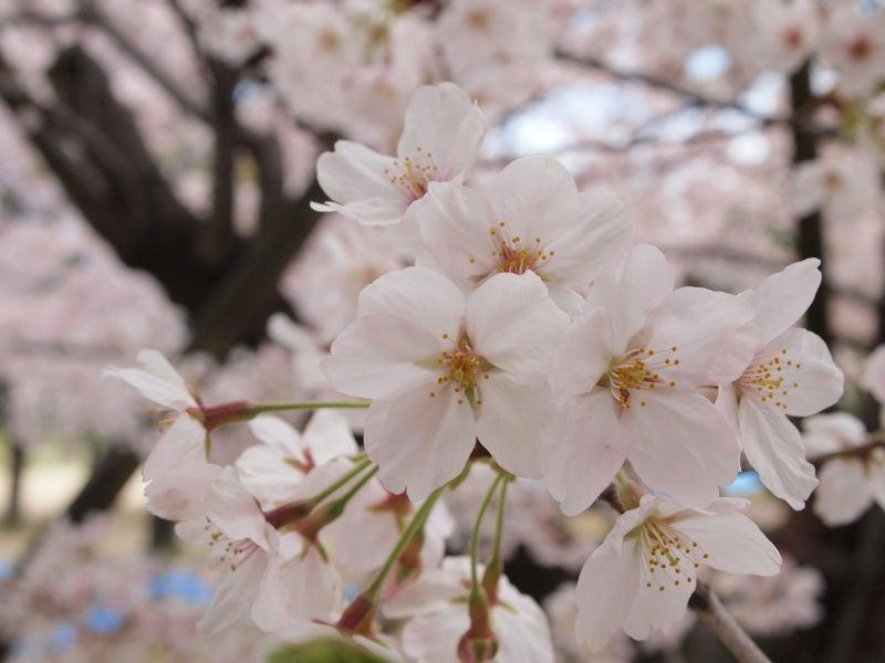 あ!めいじんぐ倶楽部の夢プラス日記-桜