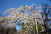 $【一点夢中】-東漸寺しだれ桜
