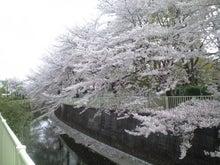 ユデガエル-2011年4月11日(日)桜③