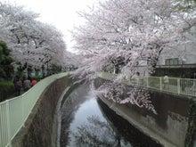 ユデガエル-2011年4月11日(日)桜②