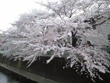 ユデガエル-2011年4月11日(日)桜①