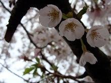 くろのはらぐろ-桜_3