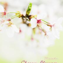 今年の桜フォトはちょ…