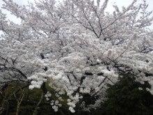遥香の近況日記-さくら3
