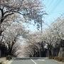 鎌倉ハイランド  桜…