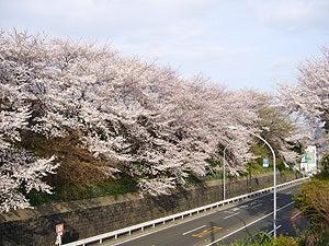 マタニティママと赤ちゃんの大事な時期をオシャレにメッセージ♪マタニティのシンボルマークBABY in ME公式ブログ-桜