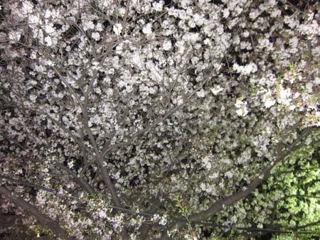M・ブルテリアRexの成長日記(^^♪-頭上の桜