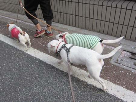 M・ブルテリアRexの成長日記(^^♪-一緒にお散歩