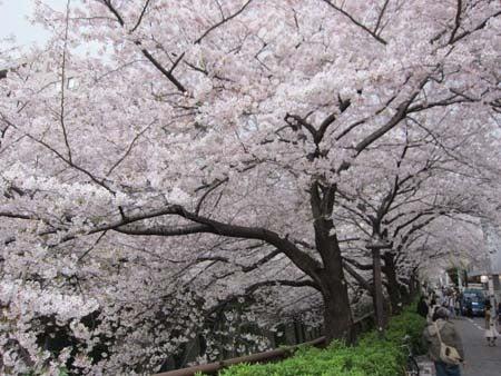 M・ブルテリアRexの成長日記(^^♪-満開の桜
