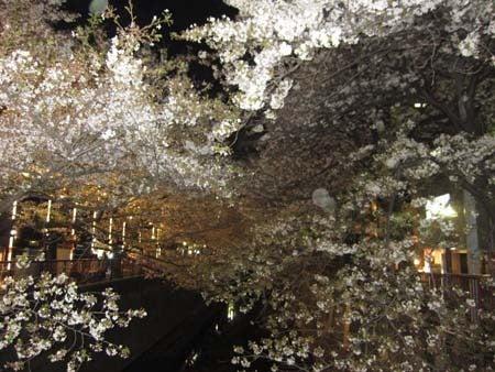 M・ブルテリアRexの成長日記(^^♪-夜桜散歩