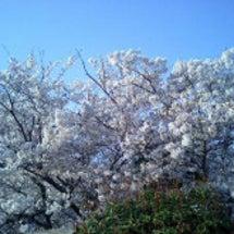 平公園の桜