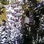 春匂う藤の花