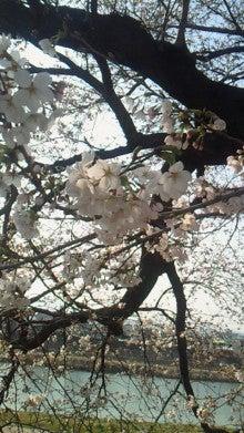 沙魚のお気楽日記-土手の桜2011 その1