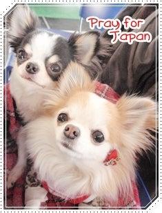 $チワワのRim-Pray for Japan