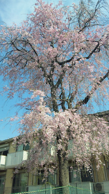 オカメインコのももちゃんと花教室と旅日記-110415_085330.jpg