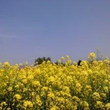 菜の花満開
