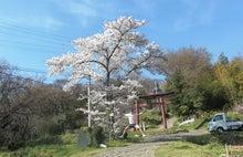 mafu-blog +山と魂+-桜4