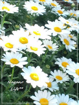 Nagano Life**-お庭のお花