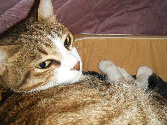 アイランダー猫