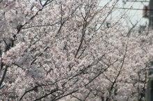 しろうちゃんの写真館-20110410桜04