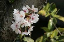 しろうちゃんの写真館-20110410桜08