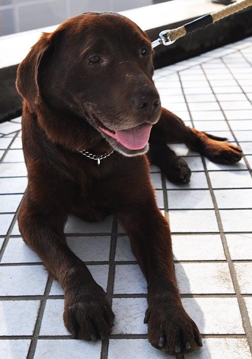SynD Syndrome ~シンディ症候群~ ボストンテリアに魅せられた♀ロックVoの記録-福島犬