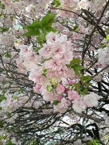 日々 更に駆け引き-桜