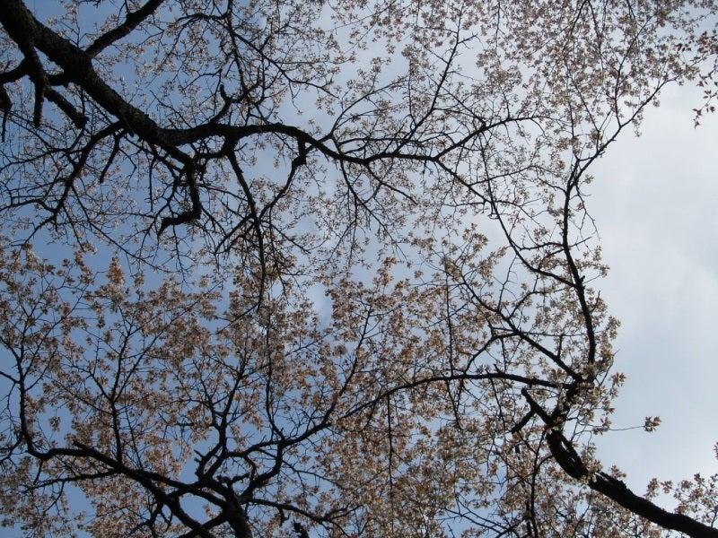 吉野 桜 奥千本 2011画像 写真