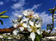 果樹園ブギウギ-福島 阿部果樹園 梨の授粉開始です