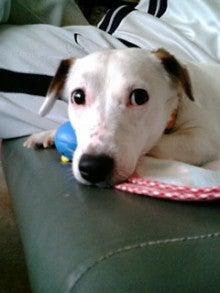 jack russell 4匹多頭飼いのママちゃんことhirokoの気まぐれブログ-20081207151015.jpg