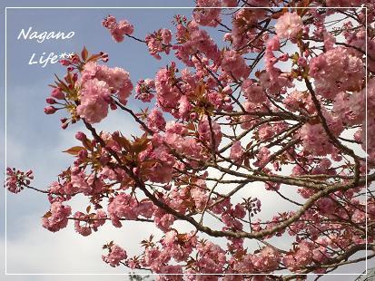 Nagano Life**-桜