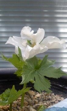 *花が咲いたよ*-110415_1310~01.jpg