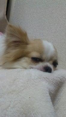 チワワLIFE☆ぷりん&ここあ&ぴの-110508_213024.jpg