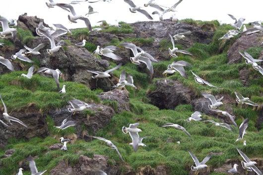 $風の竜馬の鳥見隊(とりみた~い)-ウミネコの群れ