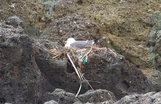 $風の竜馬の鳥見隊(とりみた~い)-ウミネコの抱卵