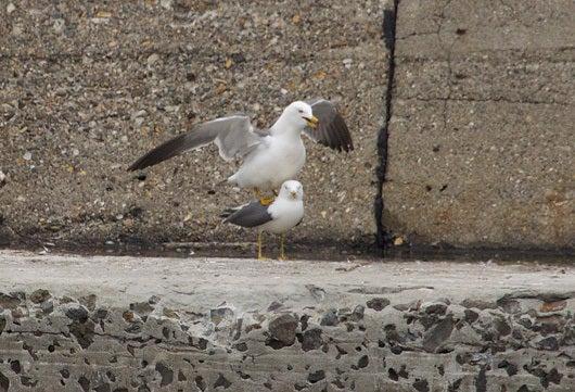 $風の竜馬の鳥見隊(とりみた~い)-ウミネコ1