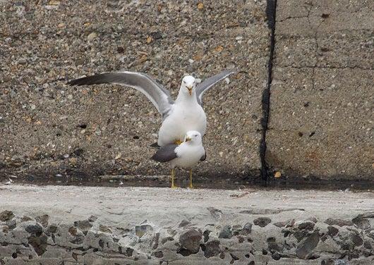 $風の竜馬の鳥見隊(とりみた~い)-ウミネコ2