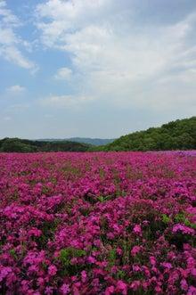 かっちゃんの日記-芝桜縦