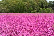 かっちゃんの日記-芝桜横