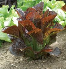 $organic vegetable  ちいさな菜園からたっぷりの美味しいを・・・ Love-Bege Garden QUPO+ のロハス通信