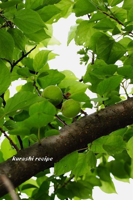 $旬菜料理家 伯母直美  野菜の収穫体験ができる料理教室 暮らしのRecipe-杏 青い実2