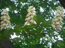 後藤英樹の三日坊主日記-horse chestnut