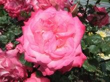 毎日お疲れ-春バラ023