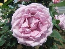 毎日お疲れ-春バラ016